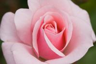 Soft pink rose in summer