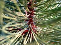 Pine needles 4