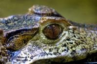 Portrait of a caiman