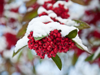 Frozen Rowan (Mountain ash) berries covered in snow