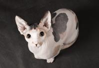 Young sphinx cat