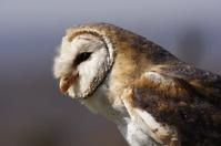 Barn owl profile
