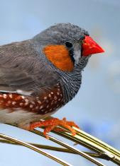 Bird Lonchura