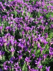 Schopf-Lavendel - Lavandula Stoechas
