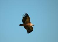 Eurasian Griffon Vulture  flying in the sky