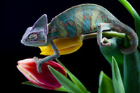 Chameleon & Tulip