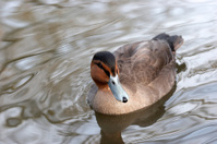Duck on the pond skimming water