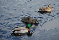 Three mallards float on an icy pond