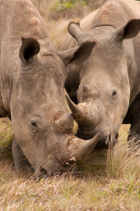 Young Rhino Pair
