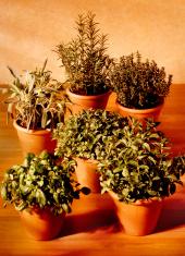 vases of aromatic plants