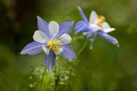 Colorado Columbine flowers in Rocky Mountains