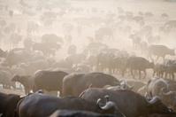 Buffalo in Africa