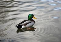 Mallard Duck Swimming On A Glassy Pond
