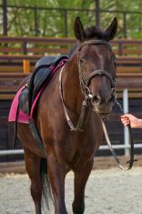 Thoroughbred bay horse