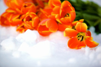 spring flowers orange tulips
