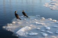 Two cormorants on floating ice