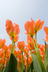 Orange Tulips seen from below