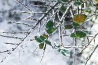 Frozen Tree Branch