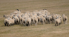 Sheep (Ovus aries) Herd Moves Away
