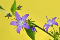 purple campanula poscharskyana flowers