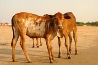Cows on beach, Goa