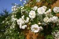 White climbing rose