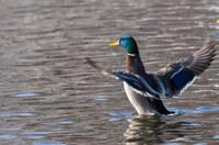 Mallard Duck shaking wings
