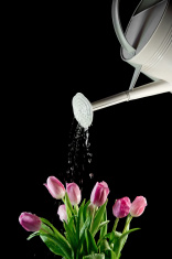 White Watering Can  Sprinkling Tulips