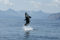 killer whale calf jumping