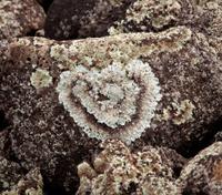 Heart shaped lichen on rock
