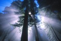 Sunray behind a redwood tree California
