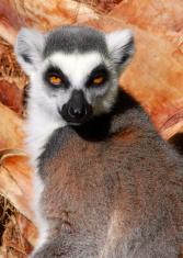 Lemur Look