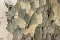 Mottled textured motley colours in bark of London plane