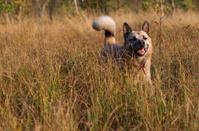 West Siberian laika (husky)