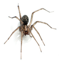 Giant House Spider Macro
