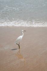 Egret Walking On Daytona Beach