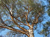 Tall pine tree 2