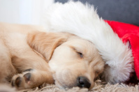 Golden retriever puppy 6 weeks old with santa hat