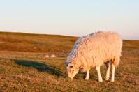 Sheep on a grassy hillside at sunset