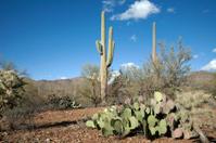 Cactus on Desert