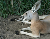 Laying Red Kangaroo
