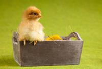 Baby chick