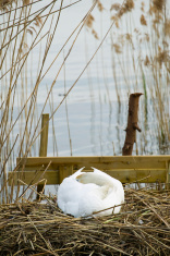swan that broods