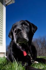 Old Labrador outside
