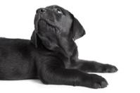 Puppy black dog labrador on white