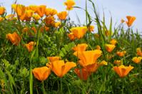 California Poppy Wildflowers Close-up