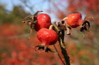 Japanese Holly Berries