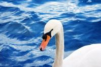 animals - cygnet swan 1