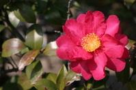 Single Red Camellia