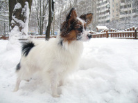 Papillon dog in snow
